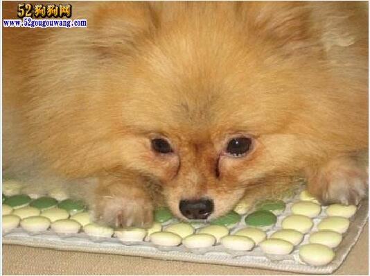 博美犬常见疾病防治方法