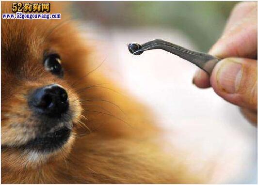 博美犬咬人吗?饲养博美犬也要注意安全!