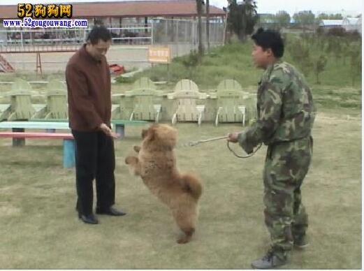 松狮犬的训练方法