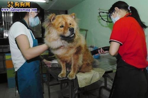松狮犬的被毛梳理如美容技巧