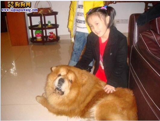 松狮犬的优点与缺点