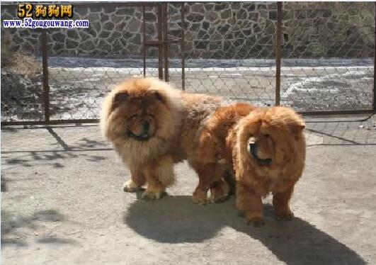 松狮犬繁殖与配种必须了解的知识