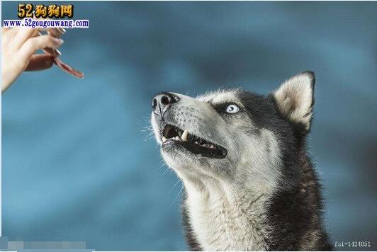 哈士奇犬对能量的需求