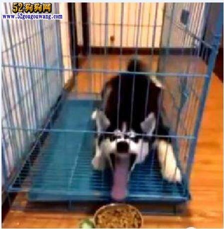 哈士奇犬根据运动量、年龄合理喂食