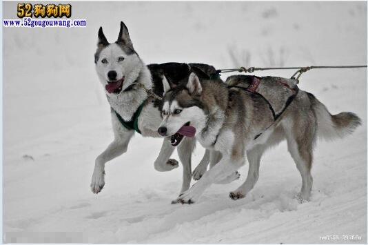 哈士奇犬日常饲养 被毛护理、运动、教育、呵护