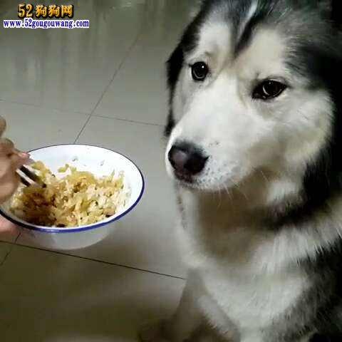 饲养哈士奇所需要掌握的喂食知识