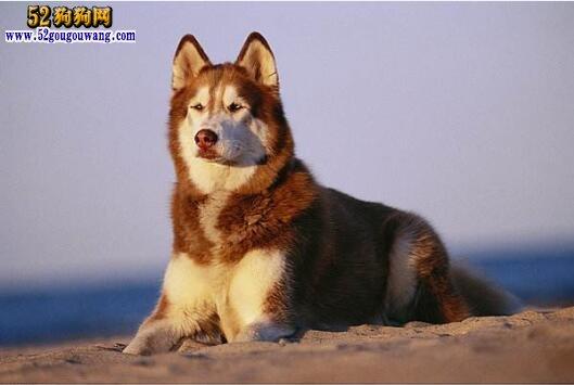 哈士奇犬饲养注意事项