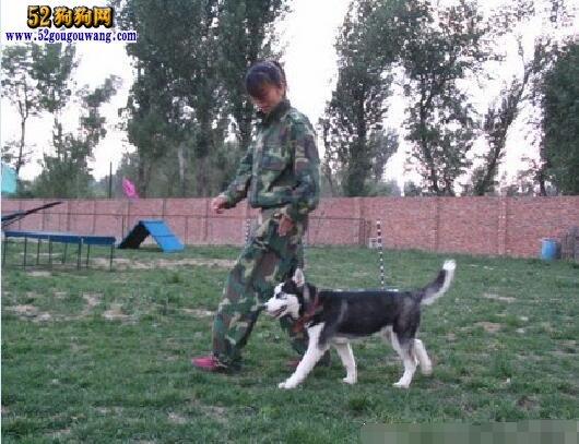 哈士奇犬的训练小贴士 随行训练要点
