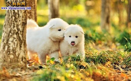 萨摩耶犬的饲养方法