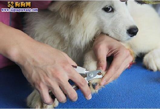 萨摩耶犬的美容与日常梳理