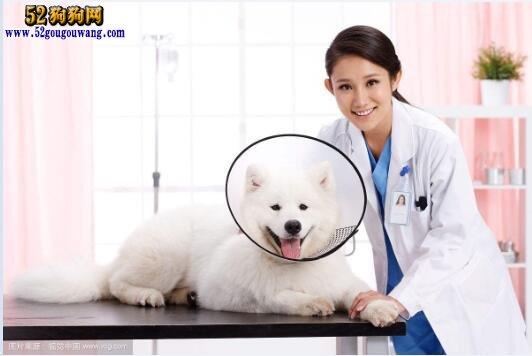 萨摩耶犬的常见病防治