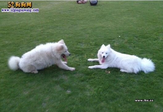 萨摩耶犬的选择、配种与孕期饲养知识分享