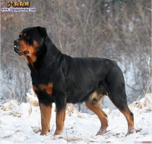 罗威纳犬的外貌特征