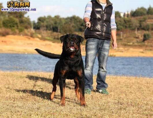 罗威纳犬作为家庭饲养的劣势与优势