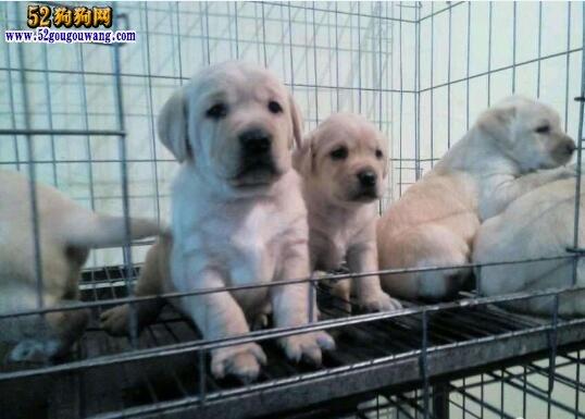 拉布拉多犬的饲养方法