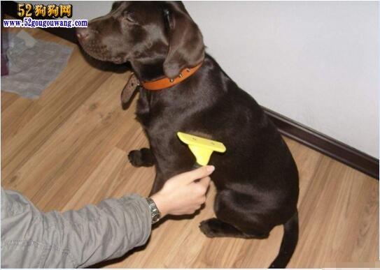 拉布拉多犬日常被毛梳理与养护