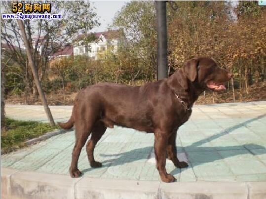 拉布拉多犬的优点与缺点