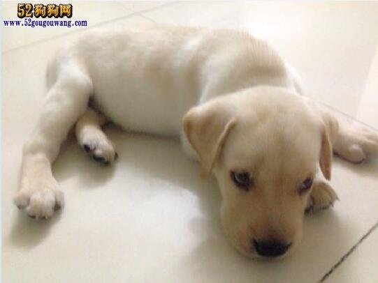 拉布拉多犬常见疾病预防与治疗