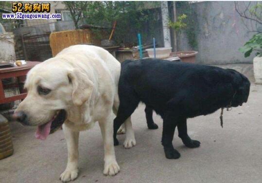 拉布拉多犬配种繁殖及孕期饲养