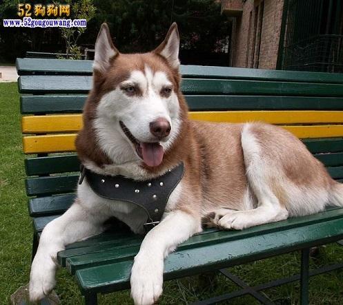 阿拉斯加犬的性格特点