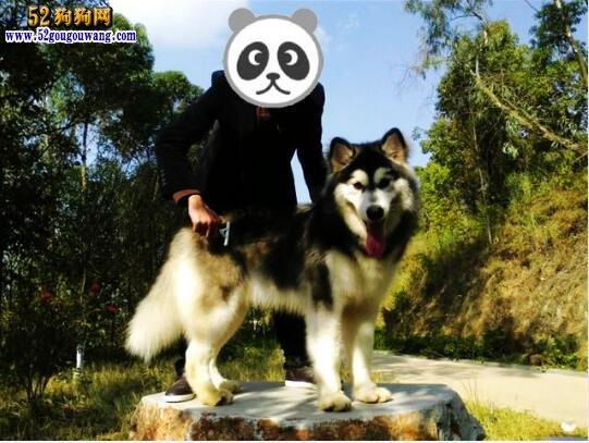 阿拉斯加犬的日常被毛梳理养护方法
