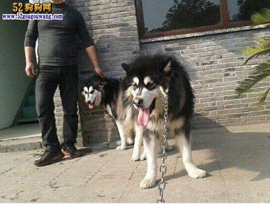 阿拉斯加犬的繁殖与配种