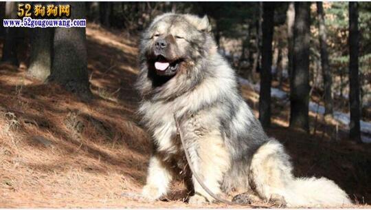 高加索犬优点与缺点