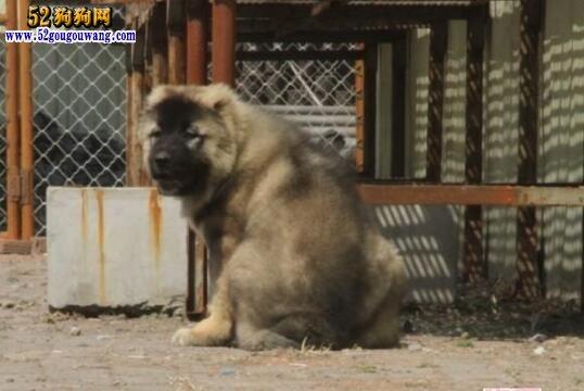 高加索犬疾病防治