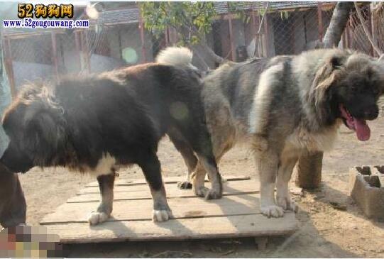 高加索犬的选种、配种及孕期饲养