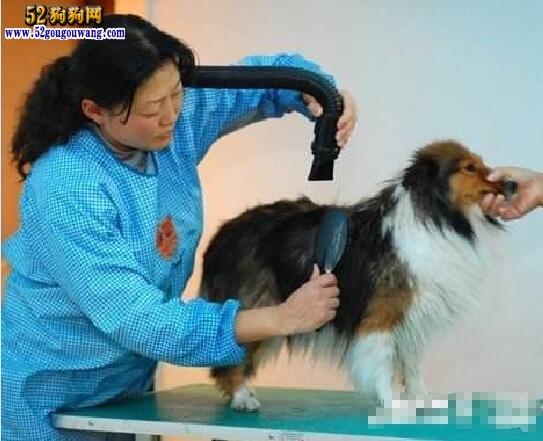 苏格兰牧羊犬美容护理