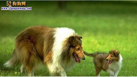 苏格兰牧羊犬幼犬喂养