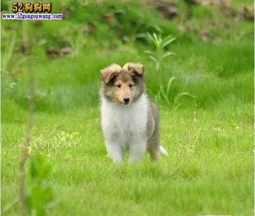 苏牧幼犬平时训练方法