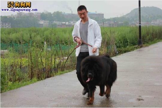 藏獒日常饲养方法及注意事项