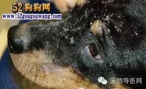 宠物狗16种常见皮肤病