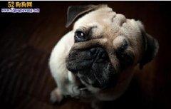 巴哥犬的形态特征