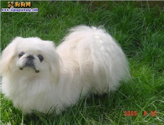 京巴犬寿命_京巴犬品种简介-北京犬-52狗狗网