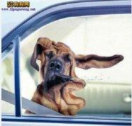 开车带宠物狗法规:带宠物狗狗乘