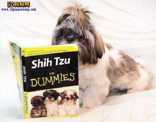 西施犬的饲养方法