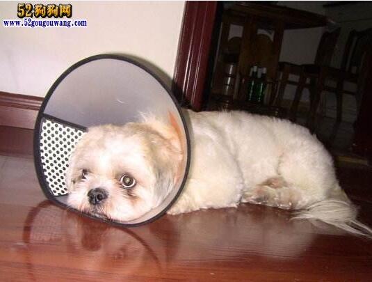 西施犬常见疾病防治方法