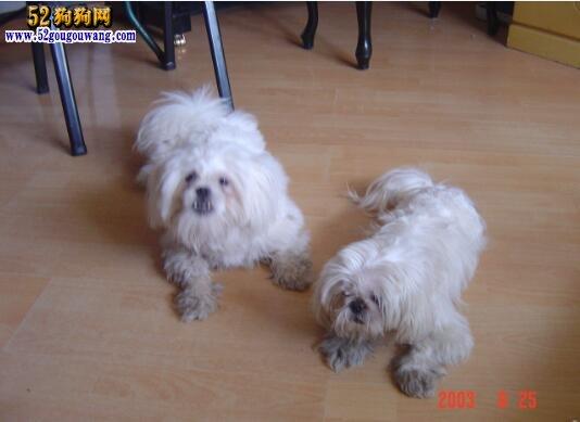 西施犬选种、配种与繁殖