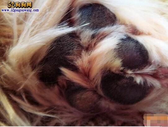 西施犬的日常养护