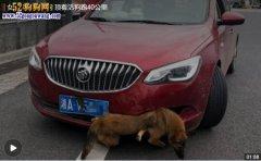 女司机高速撞狗后行驶40公里 命