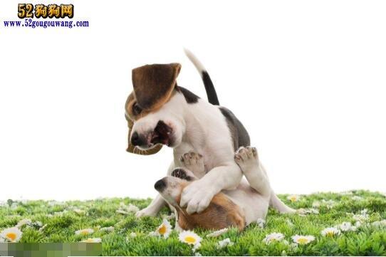 米格鲁猎兔犬优点与缺点