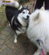 宠物盲:小女孩遭萨摩犬袭击,家