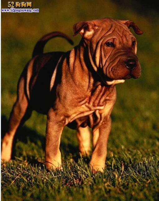 沙皮狗的形态特征