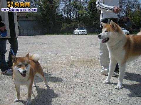 如何区分秋田犬和柴犬