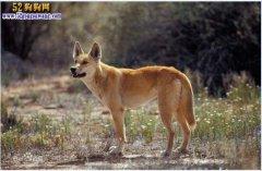 狗是狼驯养古来的,为什么野狗不