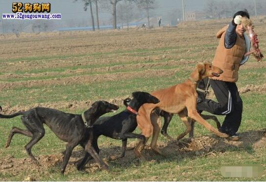 中国细犬的毛色特征