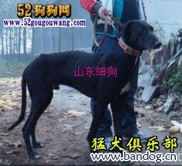 中国细犬和灵缇犬的区别