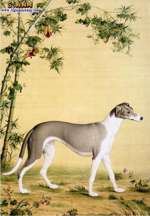 中国细犬的饲养方法
